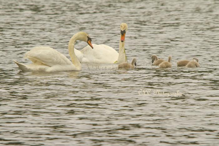 Swan Family...Wenham, Mass.