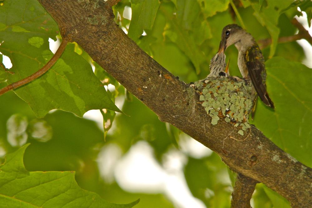 Hummingbird Mom with babies..Hamilton, Mass