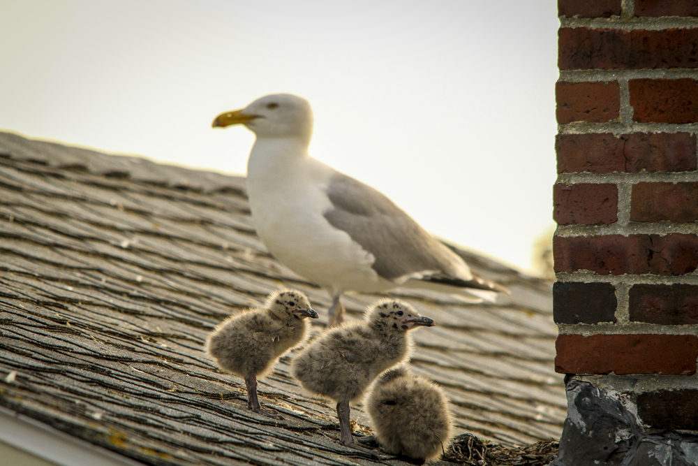 Seagull with babies....Gloucester, Mass