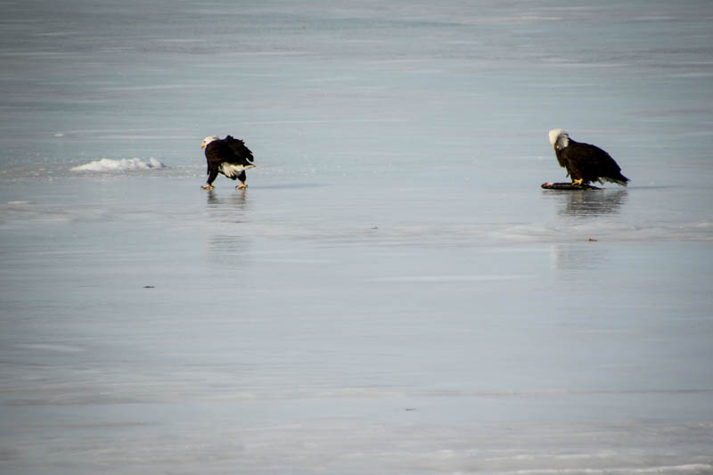Two Bald Eagles...