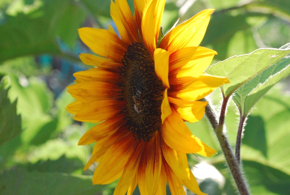 South Waterfront Community Garden Sunflower Lo Res.jpg