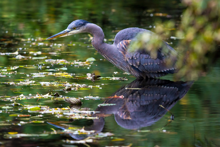 Great Blue Heron.jpeg