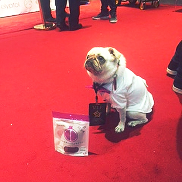 "@surf_gidget_the_pug ""Paparazzi Shot: @pawmegranate was spotted on the red carpet with @surf_gidget_the_pug at the 2016 Emmy Awards!!"""