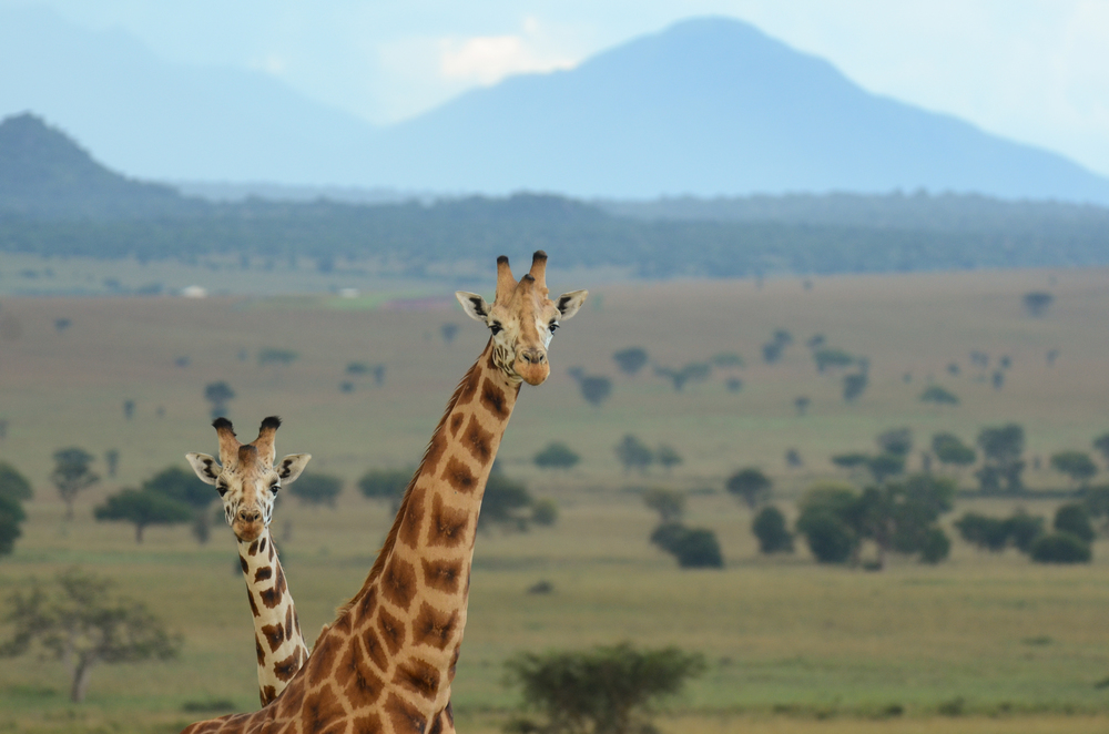 Two male giraffes in Kidepo Valley National Park
