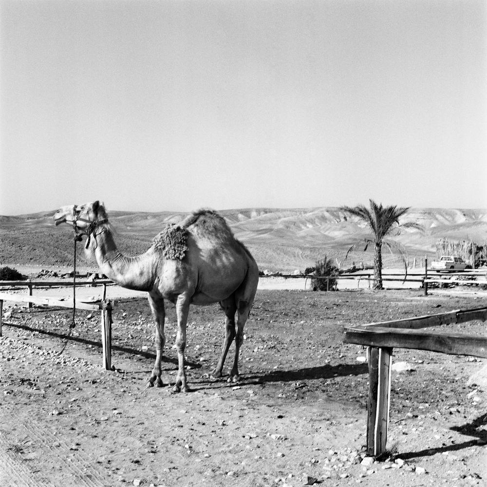 Camel In Bedouin Land, Negev Desert, Israel 2011