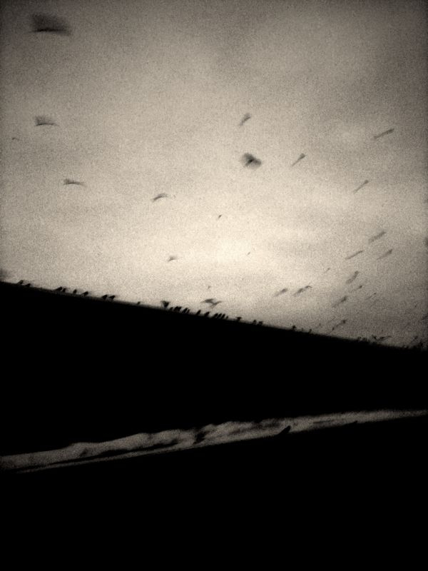 Crows. Edited with Chase Jarvis's camera app for the iPhone.