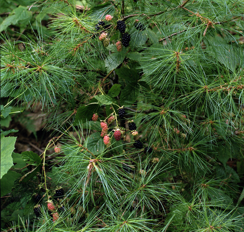 KUW, the ripening - blackberry (rubus fruticosis) _red when green_ + white pine (pinus strobus) - Ducktrap Place