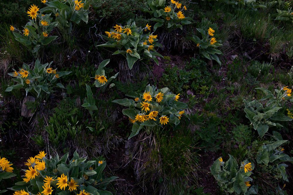 arrowleaf balsam root.jpg