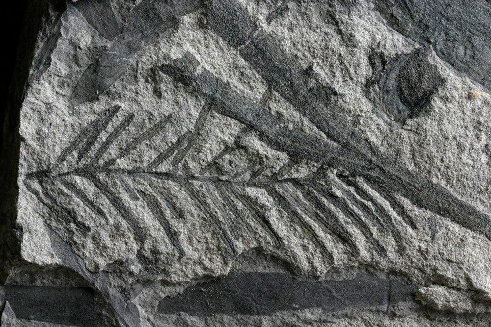 Fern-Fossil-Dweb.jpg