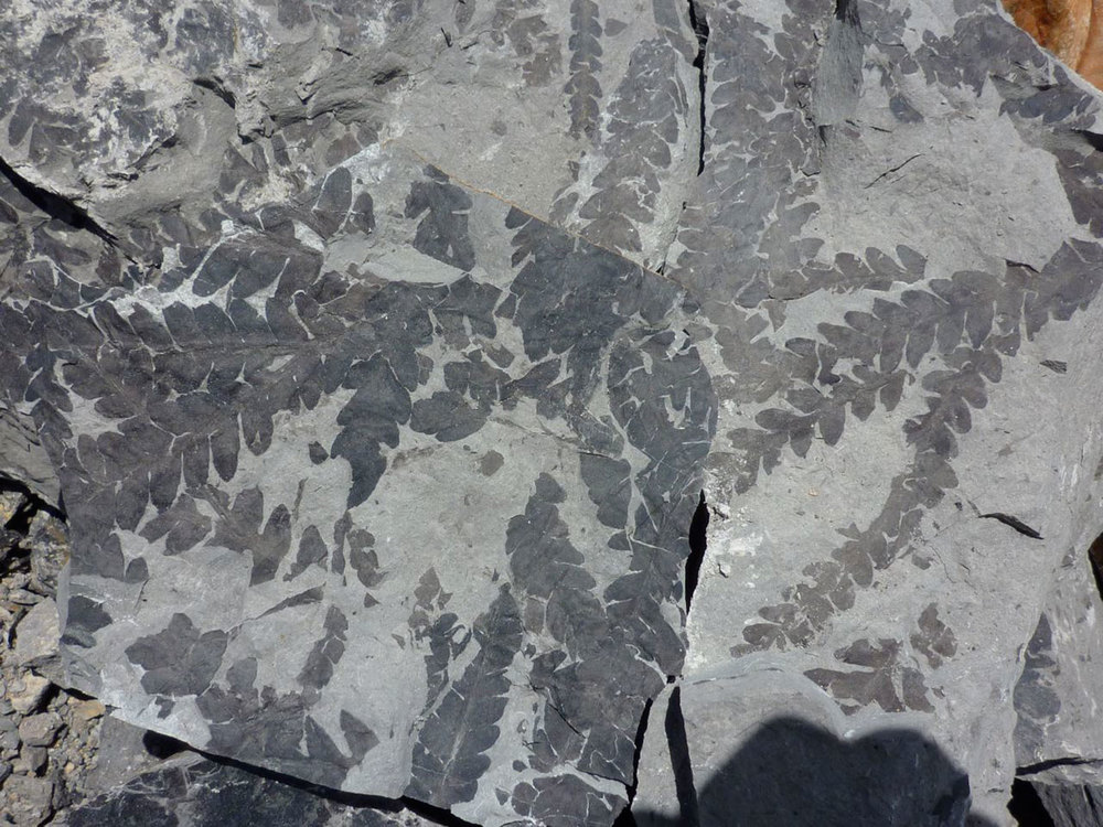 Fern-Fossil-Bweb.jpg