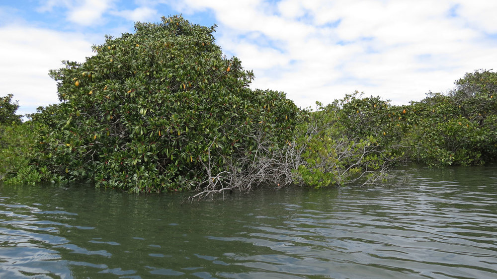 Mangroves on the Clarence