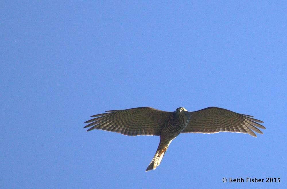 Juvenile Female Collared Sparrowhawk
