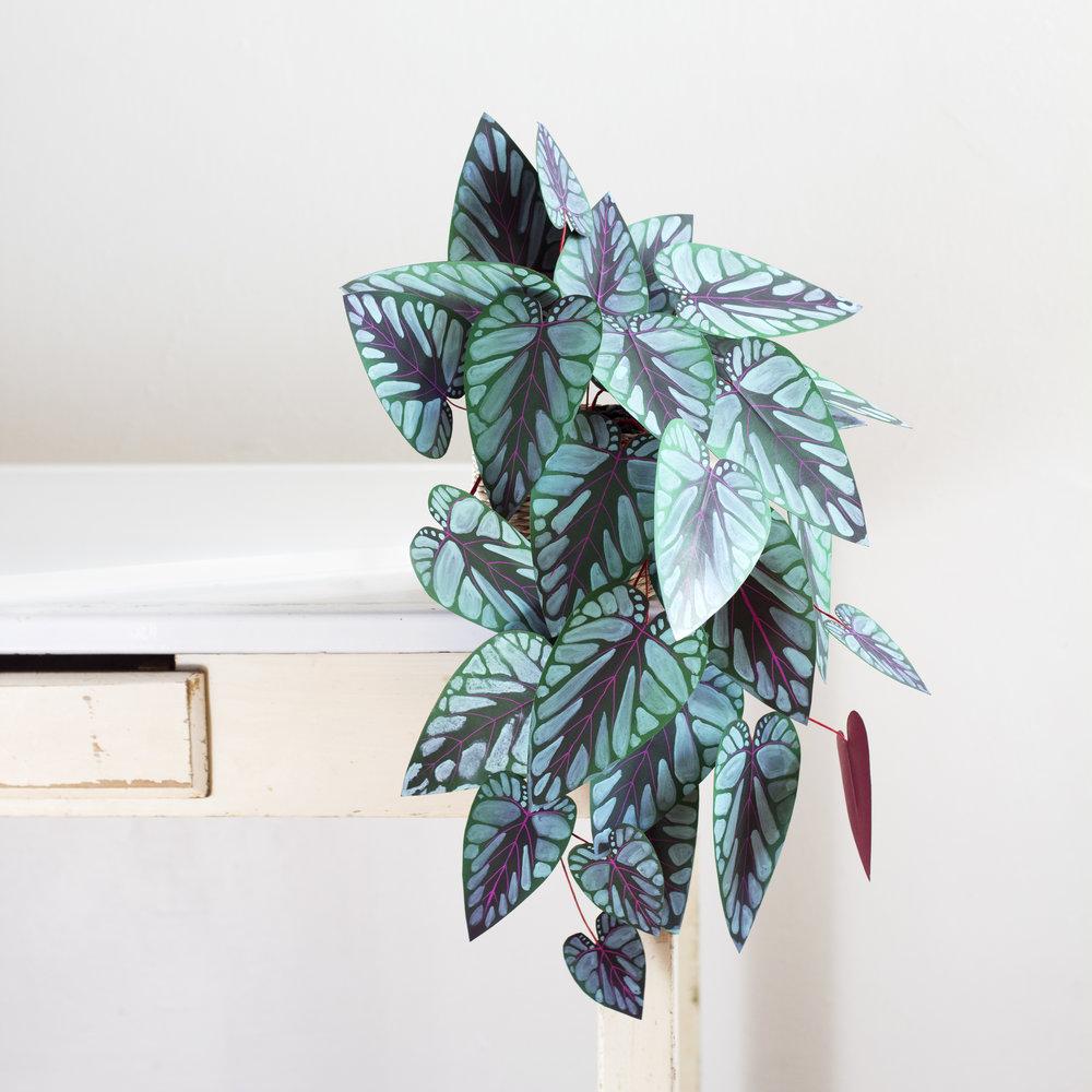 corrie_hogg_paper_plant_rex_begonia_vine.jpg