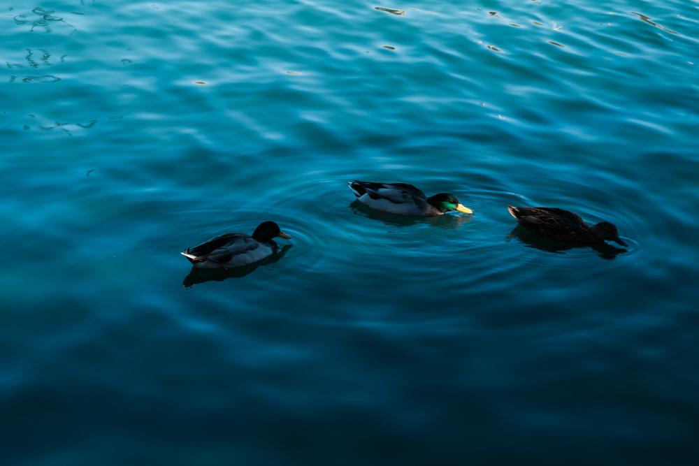3 ducks.jpg