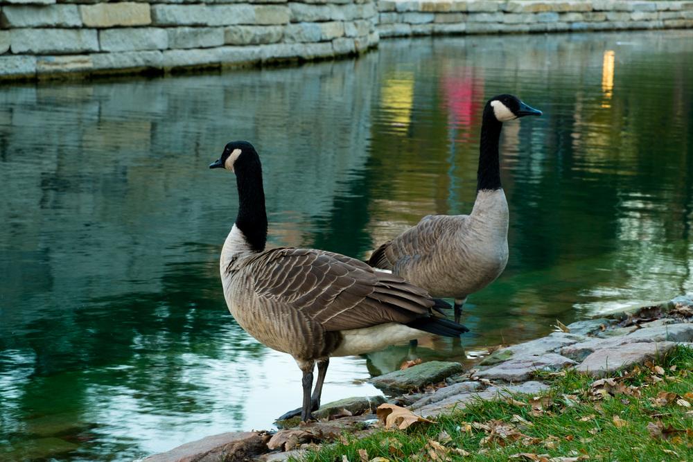 2 geese.jpg