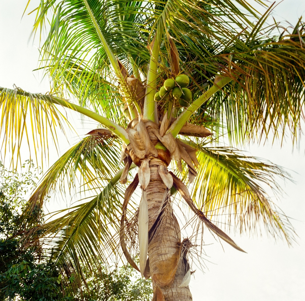 palm and coconuts.jpg