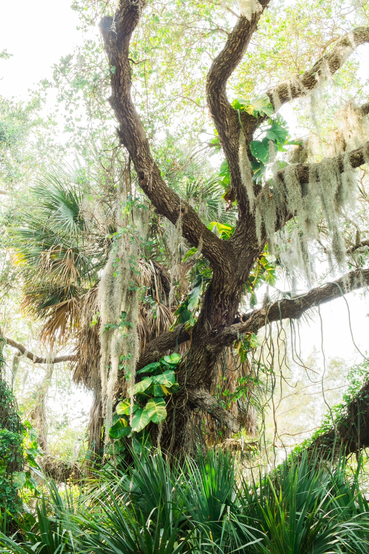 florida tree and moss.jpg