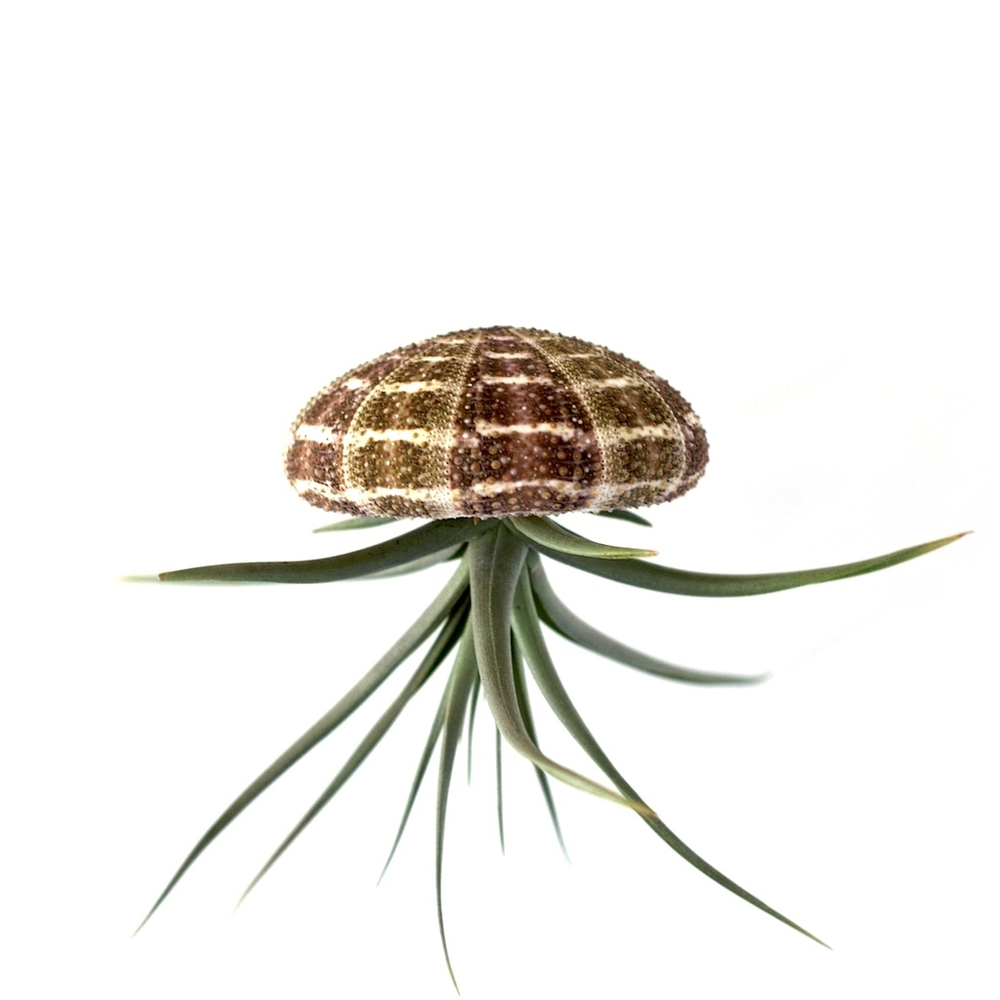 urban jelly fish hanging air plant home decor