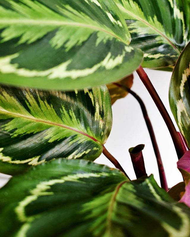 Happy Sunday! My Calathea Medallion  is shooting out a new leaf 🌱 Can't wait to see it join it's friends! If you're thinking about adding one to your #plantcollection this is definitely one to have 💚 it's movements are meant to follow the rise and fall of the sun each day. During the 🌞they lower their leaves to catch the light and then huddle together and close at night🌙 Really fun to watch 🍿. ___________________ #plantsofinstagram #plantsmakepeoplehappy #plantlife #indoorjungle #urbanjunglebloggers #greenthumb #plantmom #calatheamedallion #crazyplantlady #plantaddict #planttherapy