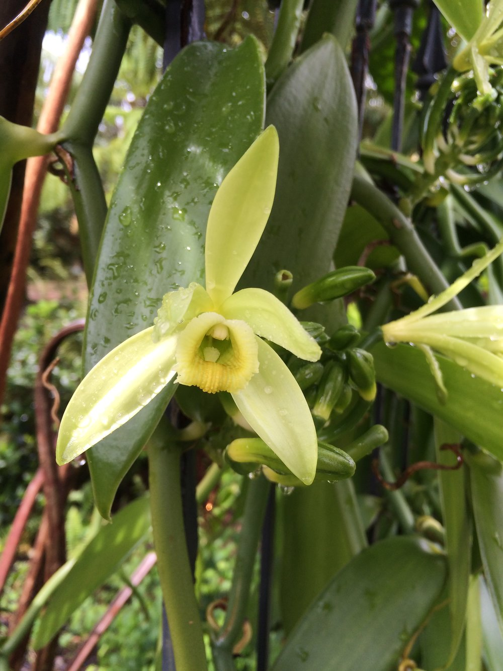 Vanilla Orchid Bloom