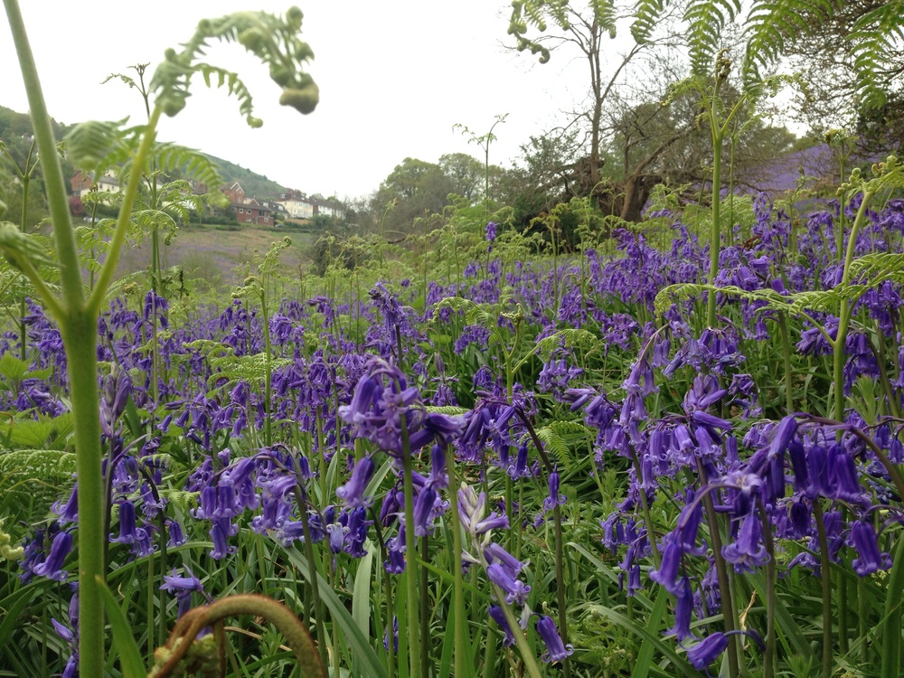Beautiful West Malvern Bluebells.