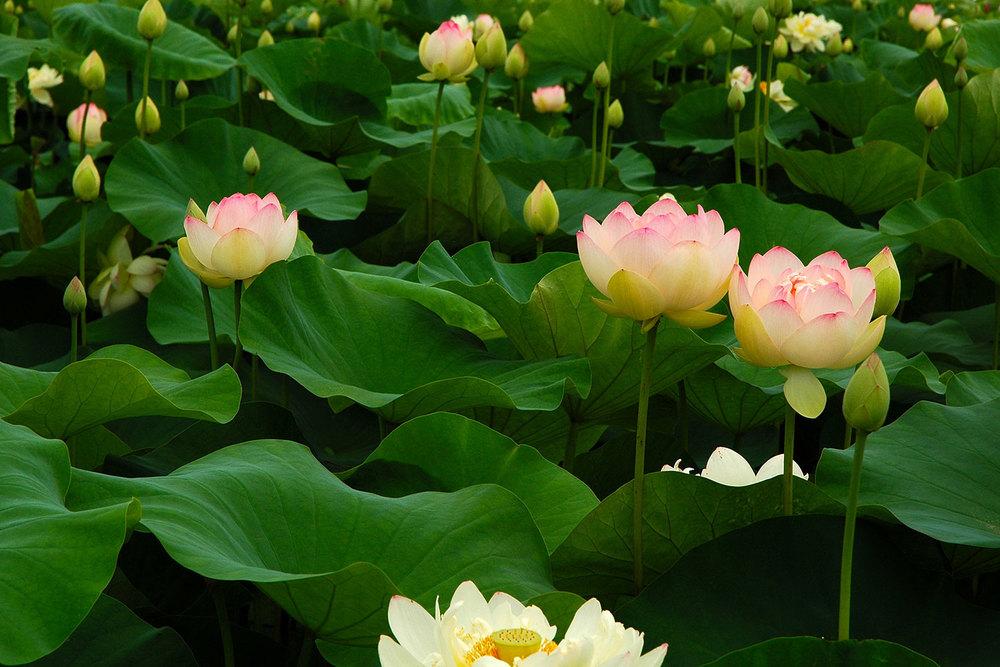 bg.lotus-field.jpg