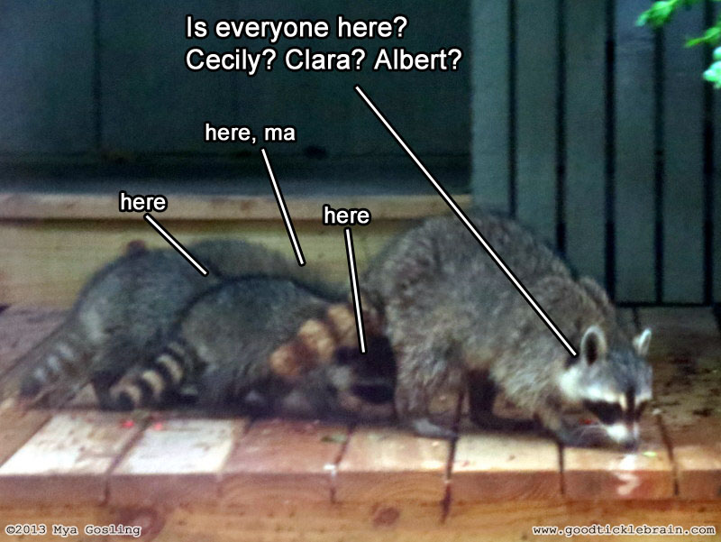 raccoon01.jpg