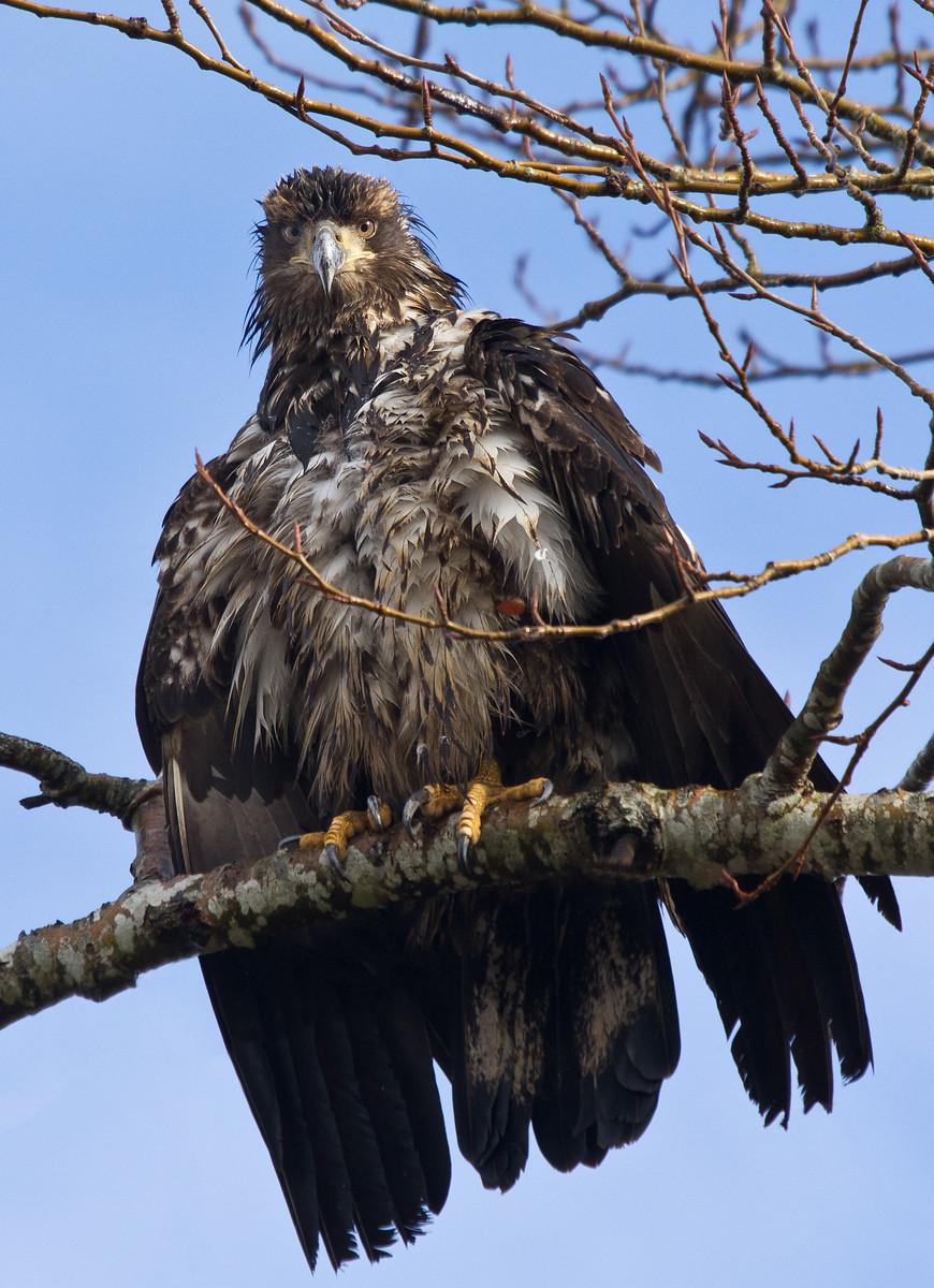 Juvenile Eagle-1-X3.jpg