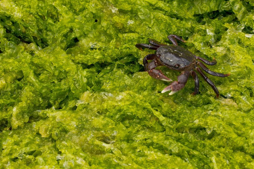 Crab on Seaweed-1-X3.jpg