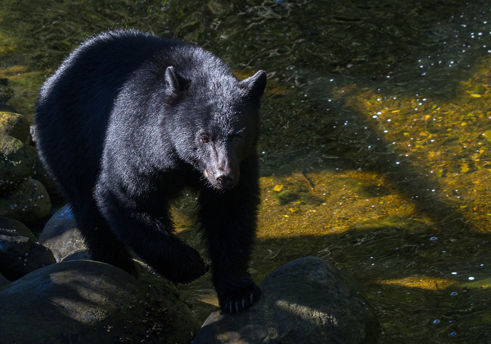 Thornton Creek Black Bear
