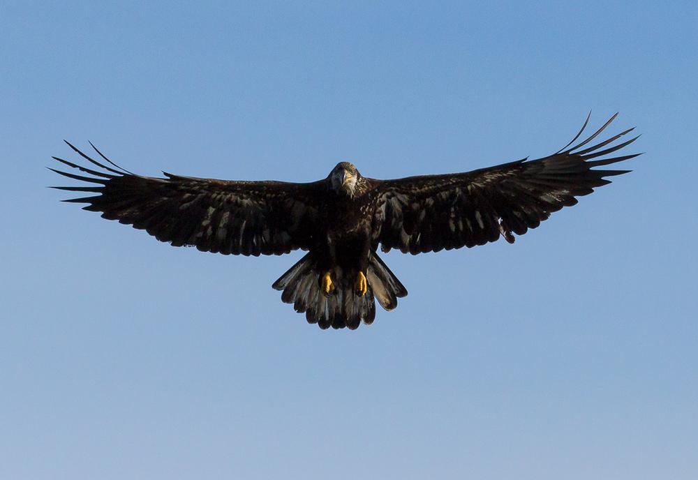 JuvenileBald Eagle