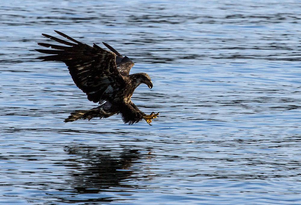 Juvenile Bald Eagle diving for herring