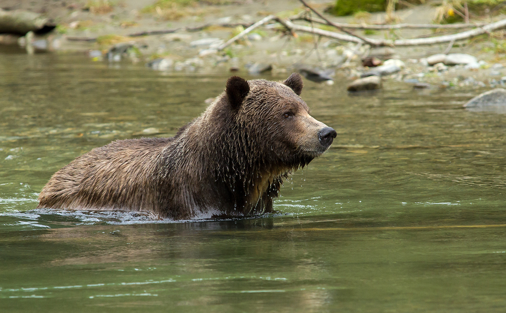 Orferd River Grizzly-0876.jpg