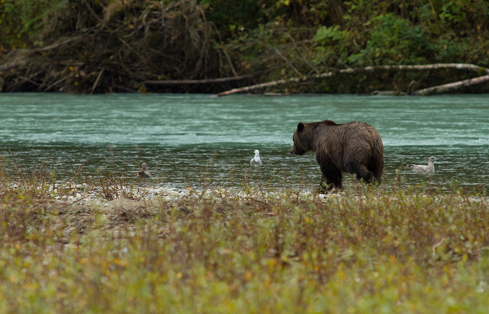 Orferd River Grizzly-0920.jpg