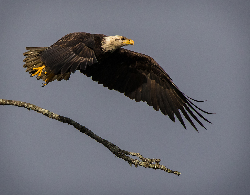 Deep Bay Bald Eagle 2.jpg