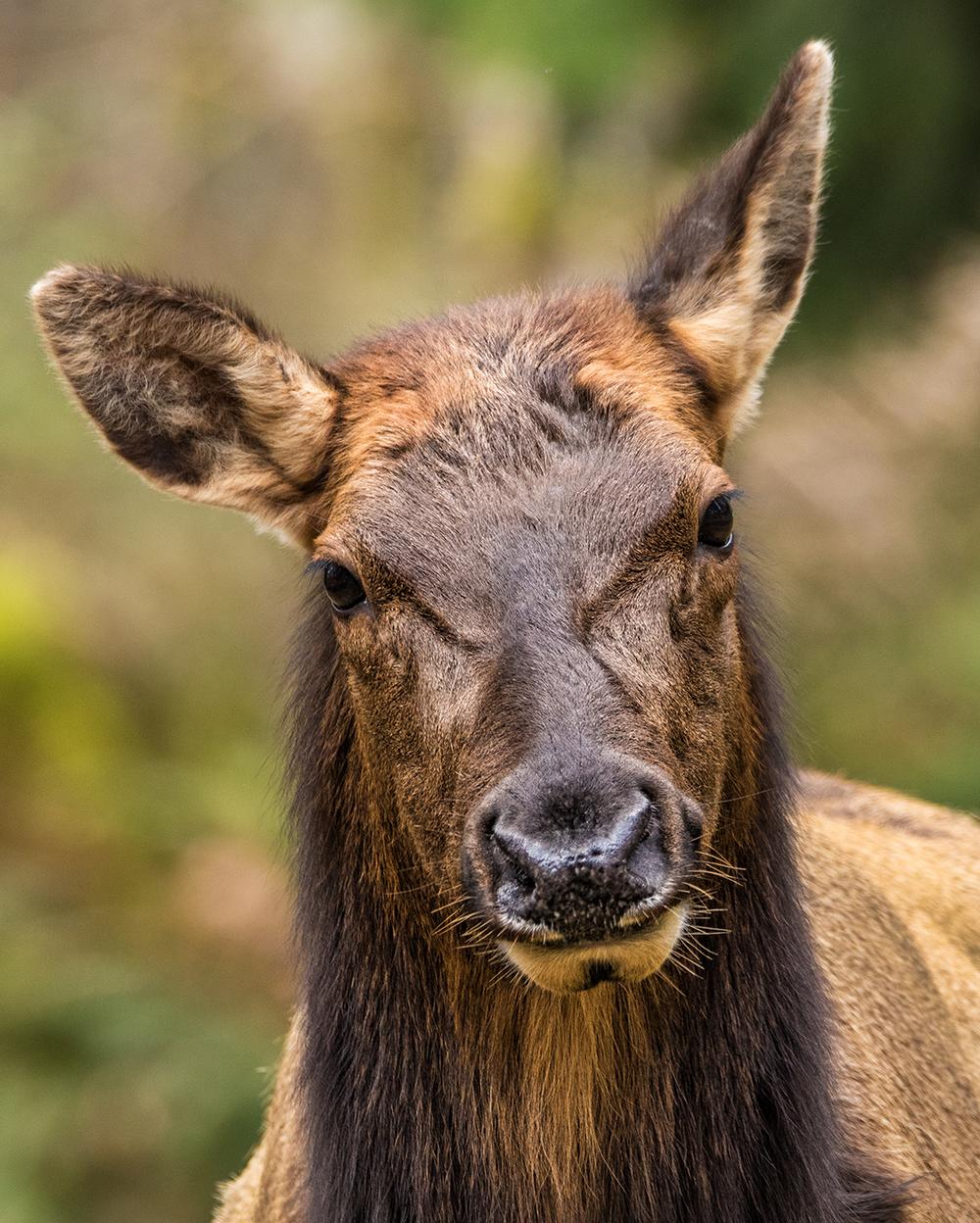 Cowichan Valley Roosevelet Elk