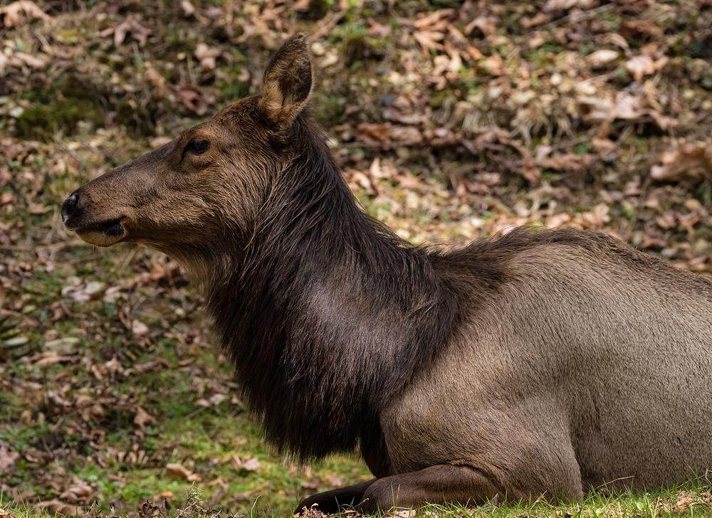 Resting Elk Cow.jpg