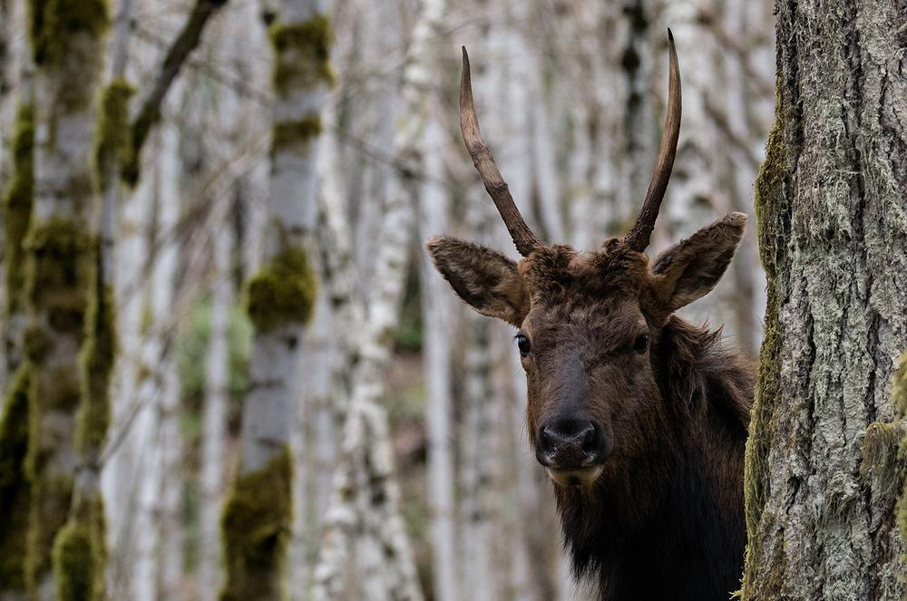 Youbou Elk.jpg
