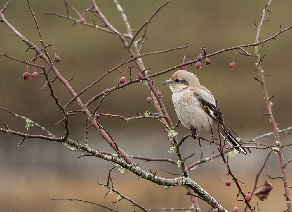 Fierce Little Northern Shrike At Nanaimo Estuary