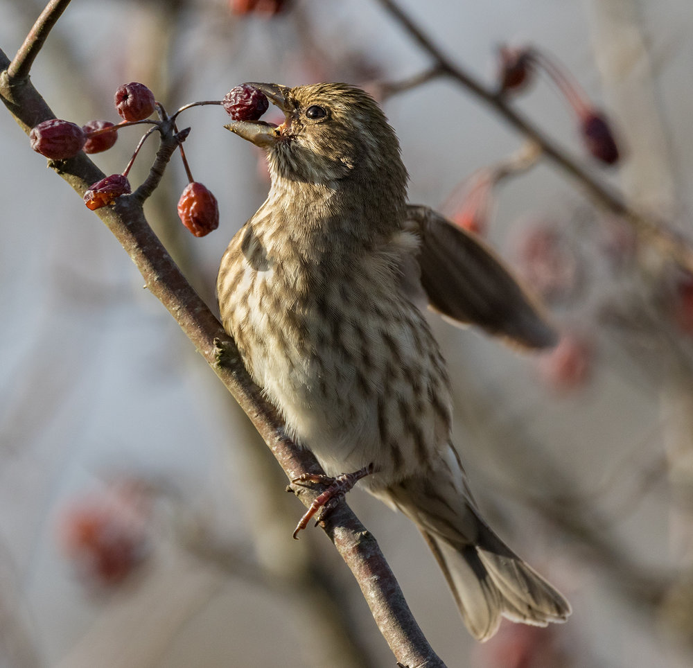 Berry Munching Song Sparrow.jpg