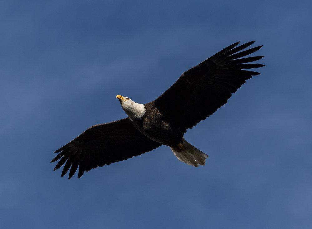 Cowichan Eagle.jpg