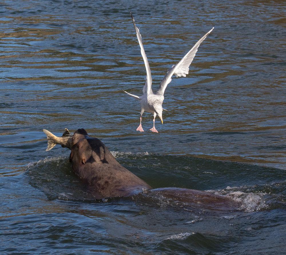 Cowichan River Sea Lion 5.jpg