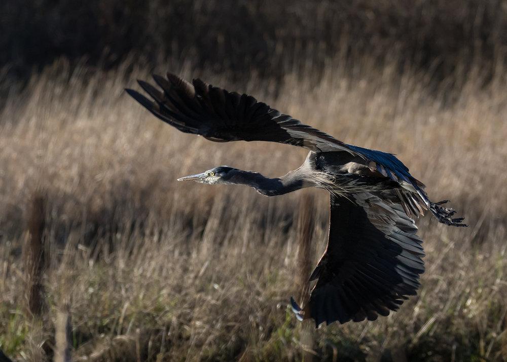 Cowichan River Blue Heron