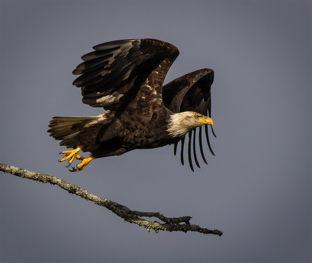 Deep Bay Bald Eagle.jpg