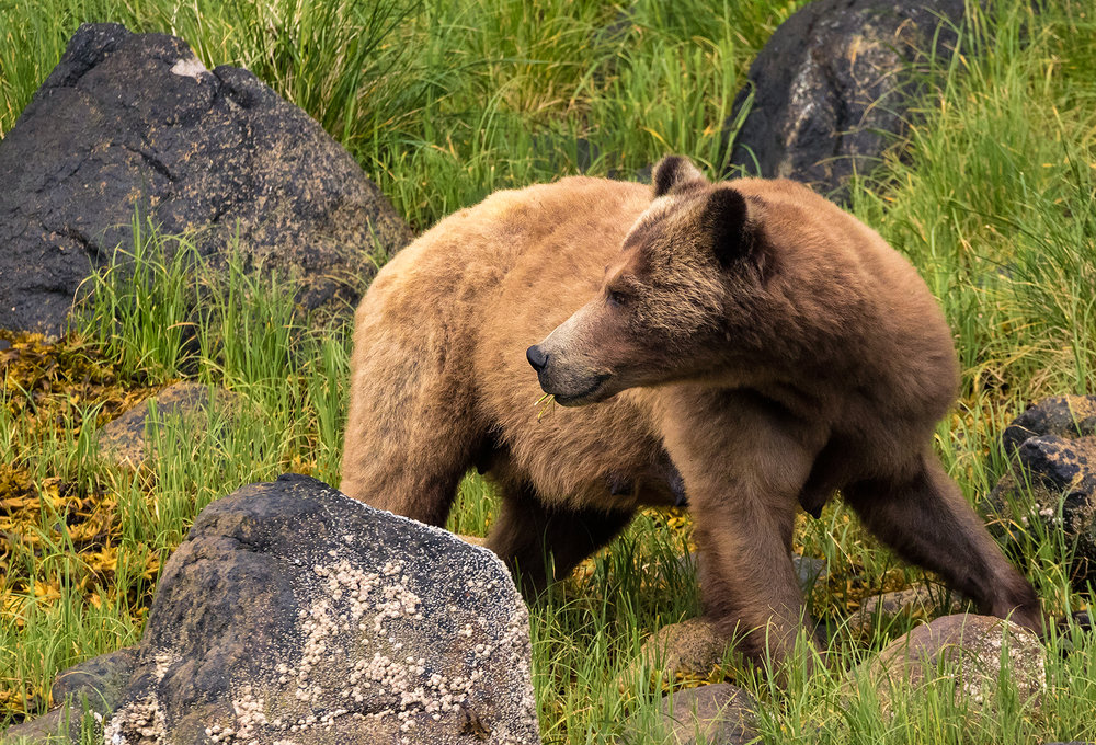 Knight Inlet Grizzly Sow.jpg