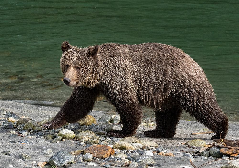 Toba Inlet Grizzly 004.jpg