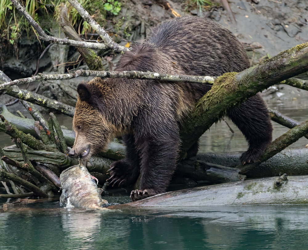 Toba Inlet Grizzly 005.jpg