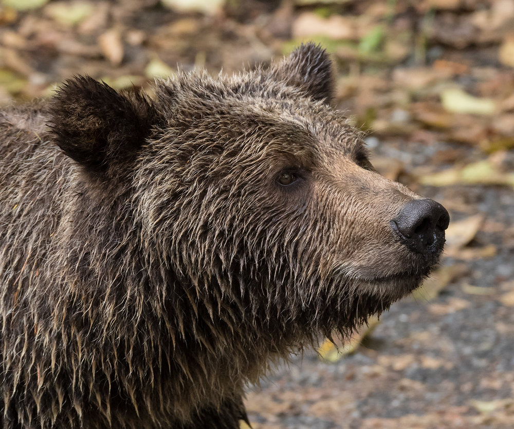Toba Inlet Grizzly 006.jpg