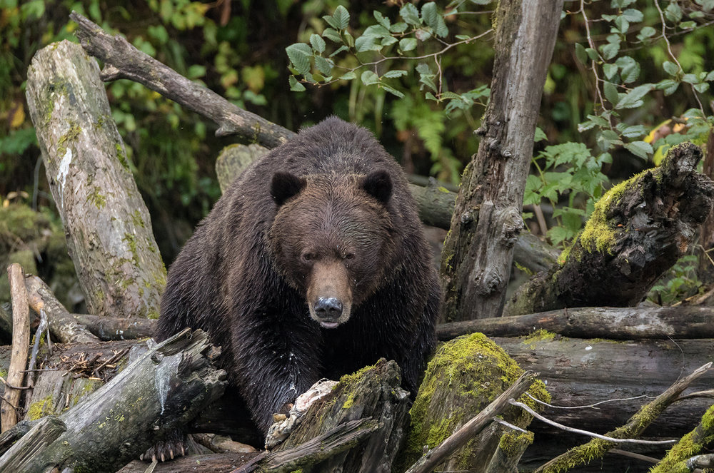 Toba Inlet Grizzly 007.jpg