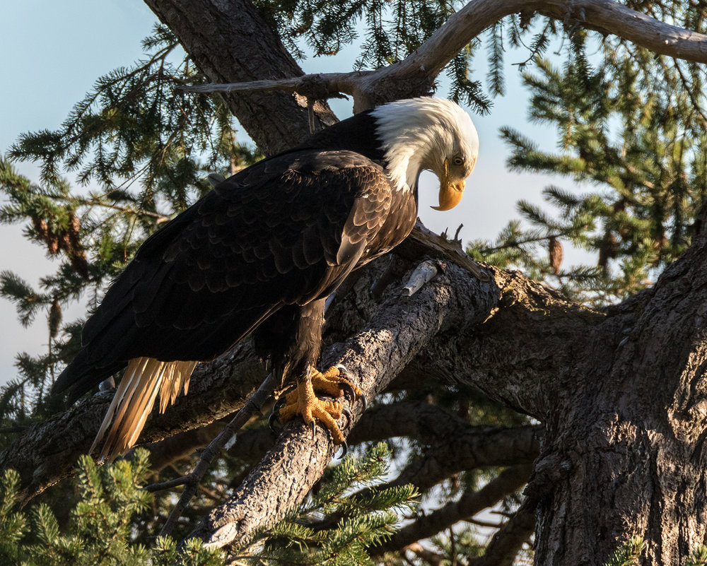 Something underneath has the attention of a mature Bald Eagle in Parksville